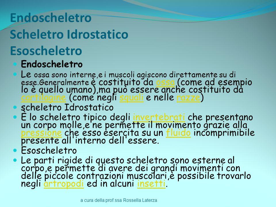 a cura della prof.ssa Rossella Laterza Endoscheletro Scheletro Idrostatico Esoscheletro Endoscheletro Le ossa sono interne,e i muscoli agiscono dirett