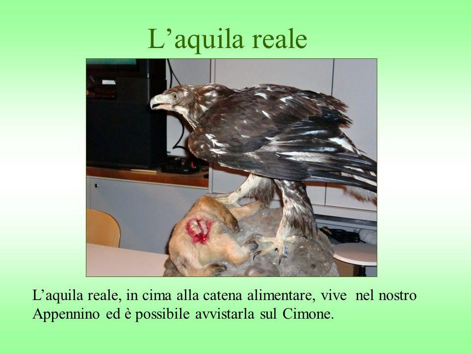 Laquila reale Laquila reale, in cima alla catena alimentare, vive nel nostro Appennino ed è possibile avvistarla sul Cimone.