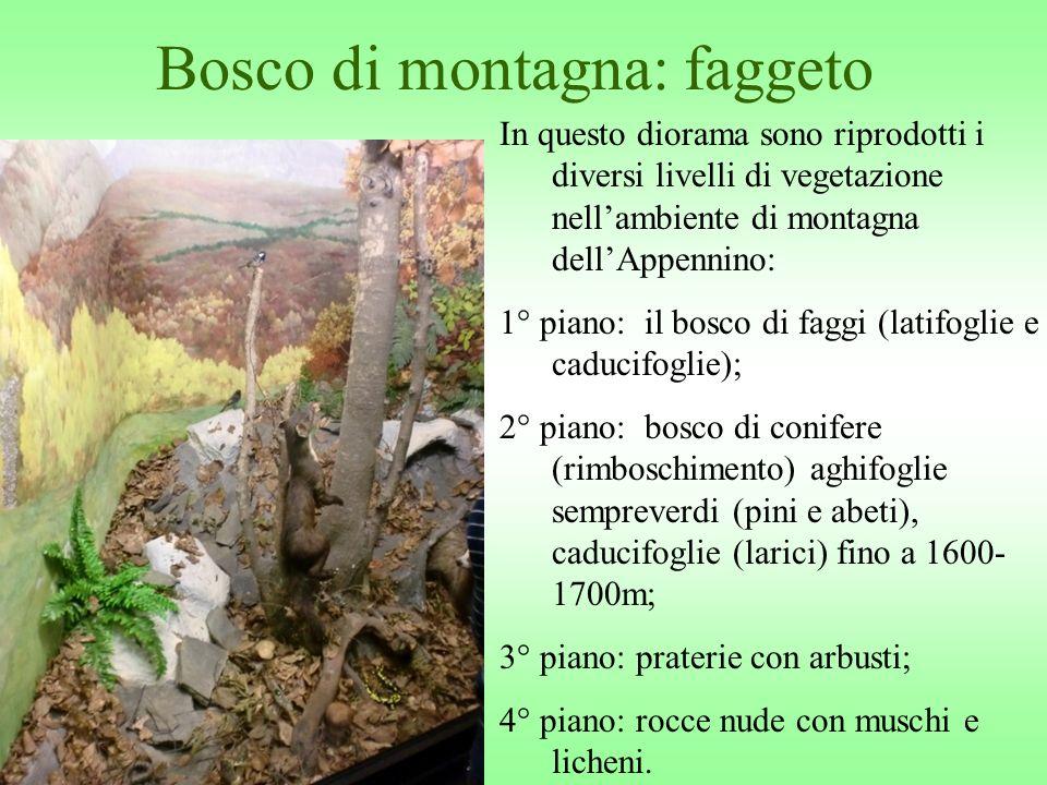 Bosco di montagna: faggeto In questo diorama sono riprodotti i diversi livelli di vegetazione nellambiente di montagna dellAppennino: 1° piano: il bos