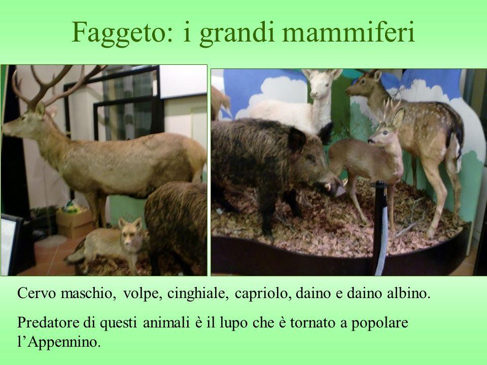 Faggeto: i grandi mammiferi Cervo maschio, volpe, cinghiale, capriolo, daino e daino albino. Predatore di questi animali è il lupo che è tornato a pop