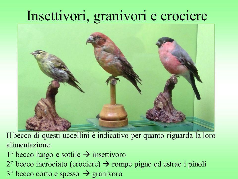Insettivori, granivori e crociere Il becco di questi uccellini è indicativo per quanto riguarda la loro alimentazione: 1° becco lungo e sottile insett