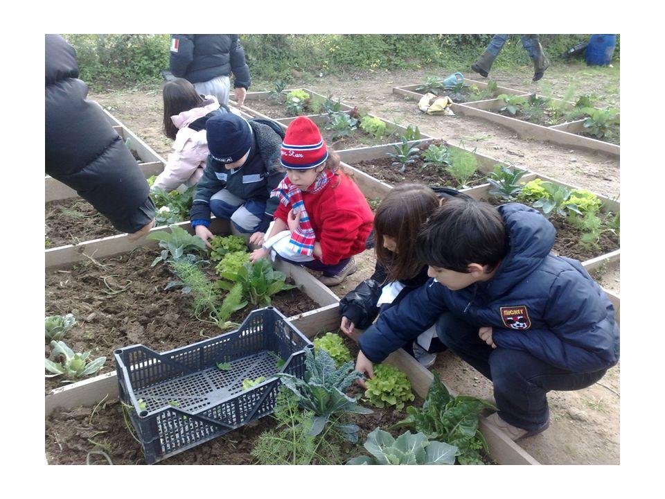 La raccolta dellinsalata 1)Ginevra sta pensando a quanto sono cresciute le piantine d insalata; non le sembra possibile che lei e i suoi compagni abbiano saputo ben coltivarla.