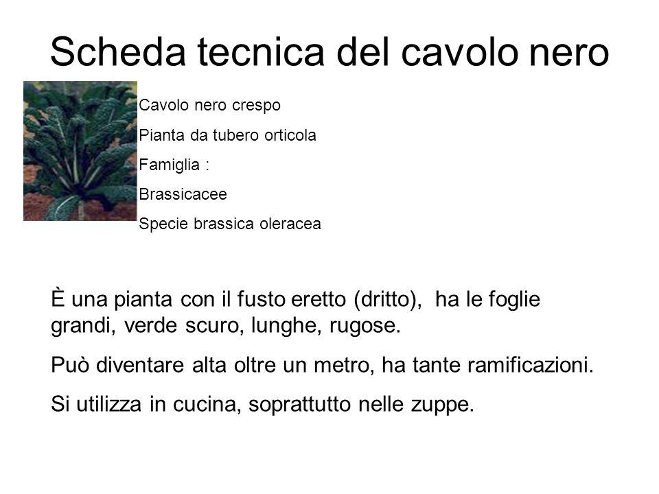 Scheda tecnica del cavolo nero Cavolo nero crespo Pianta da tubero orticola Famiglia : Brassicacee Specie brassica oleracea È una pianta con il fusto