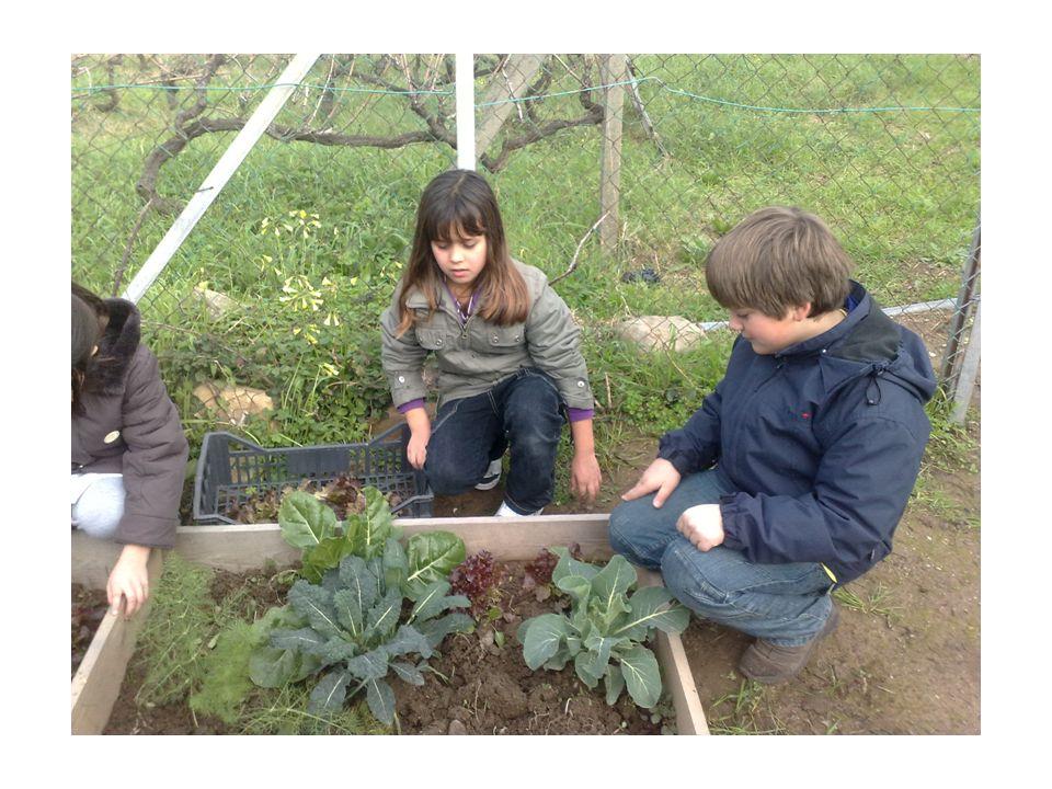 PISUM SATIVUM Pisello… odoroso Regno : PLANTAE Famiglia : FABACEE Genere: pisum specie:pisum sativum Appartiene alle coltivazione erbacee, è una leguminosa, ne esistono tante varietà.