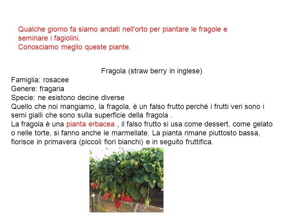 Qualche giorno fa siamo andati nell'orto per piantare le fragole e seminare i fagiolini. Conosciamo meglio queste piante. Fragola (straw berry in ingl