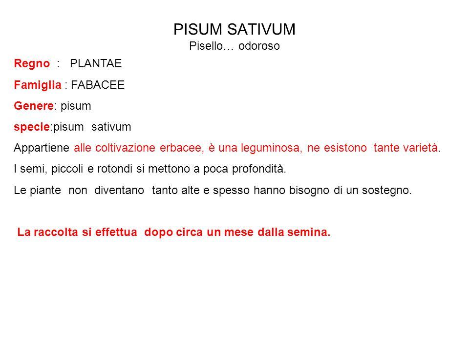 PISUM SATIVUM Pisello… odoroso Regno : PLANTAE Famiglia : FABACEE Genere: pisum specie:pisum sativum Appartiene alle coltivazione erbacee, è una legum