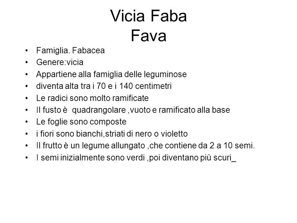 Vicia Faba Fava Famiglia. Fabacea Genere:vicia Appartiene alla famiglia delle leguminose diventa alta tra i 70 e i 140 centimetri Le radici sono molto