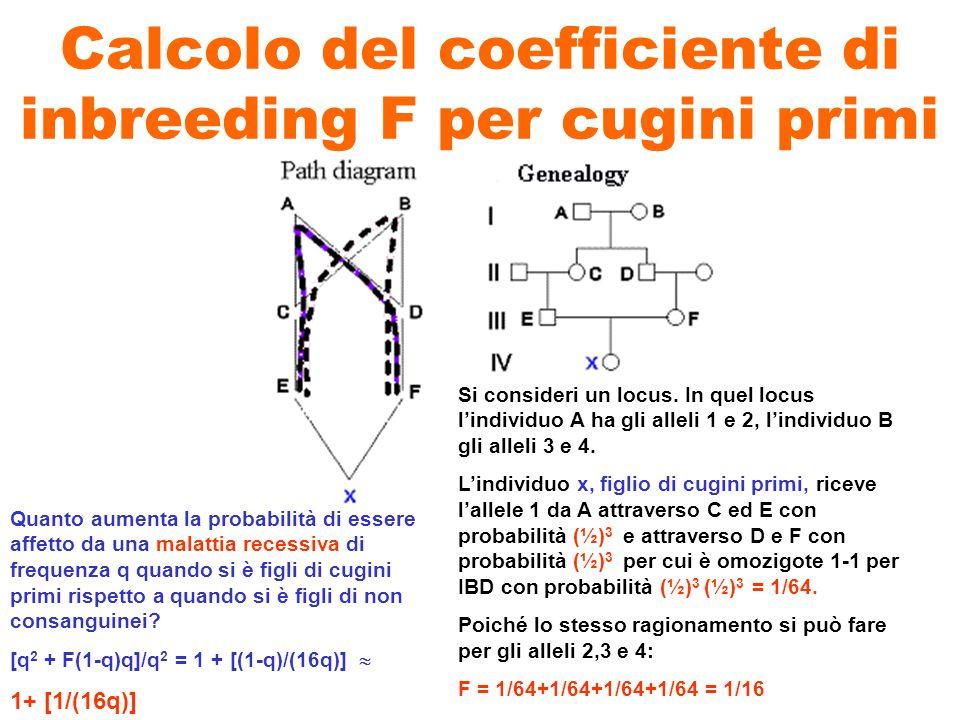 Calcolo del coefficiente di inbreeding F per cugini primi Si consideri un locus. In quel locus lindividuo A ha gli alleli 1 e 2, lindividuo B gli alle