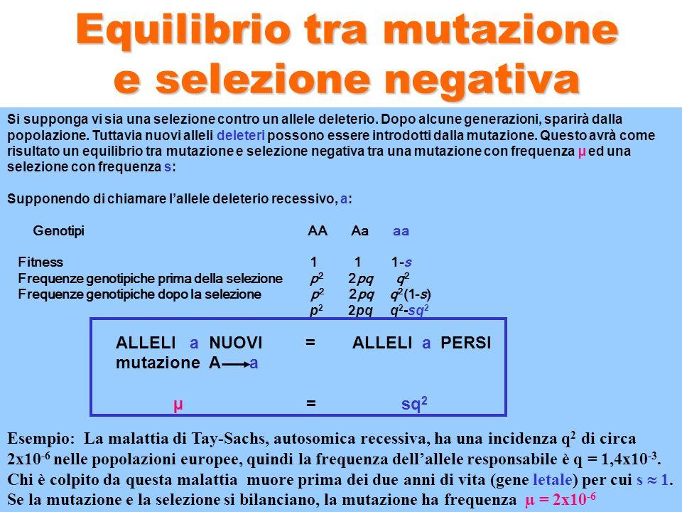Equilibrio tra mutazione e selezione negativa Si supponga vi sia una selezione contro un allele deleterio. Dopo alcune generazioni, sparirà dalla popo