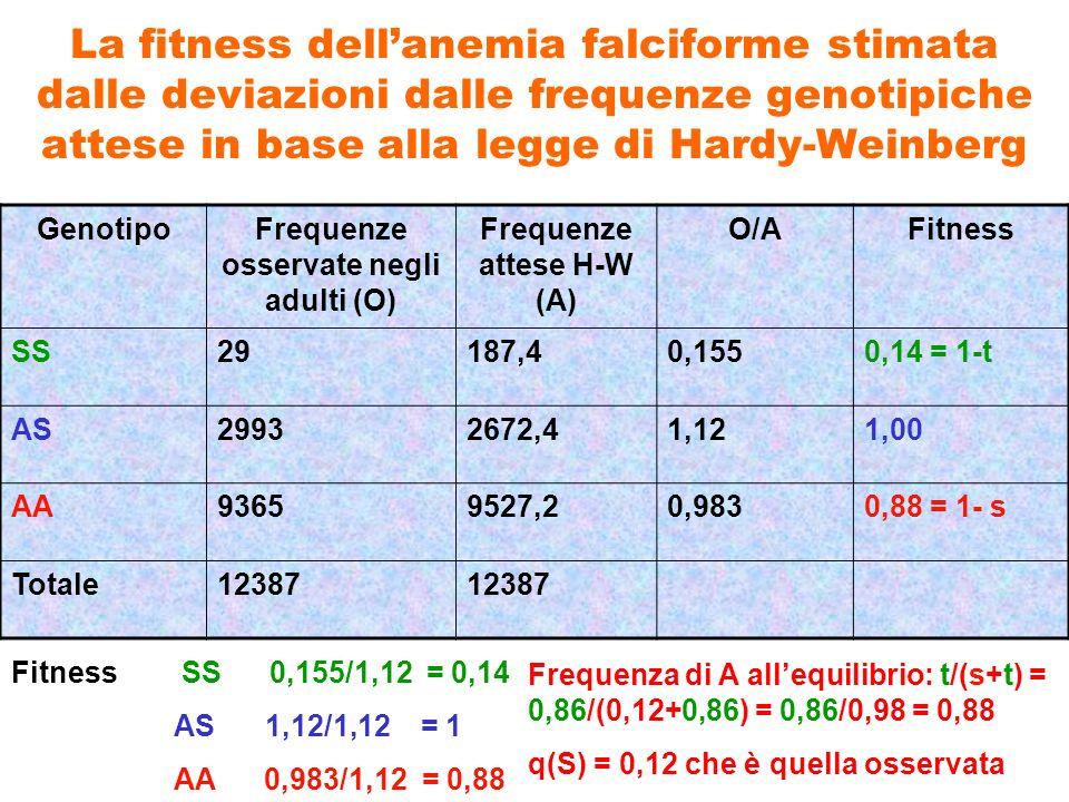 La fitness dellanemia falciforme stimata dalle deviazioni dalle frequenze genotipiche attese in base alla legge di Hardy-Weinberg GenotipoFrequenze os