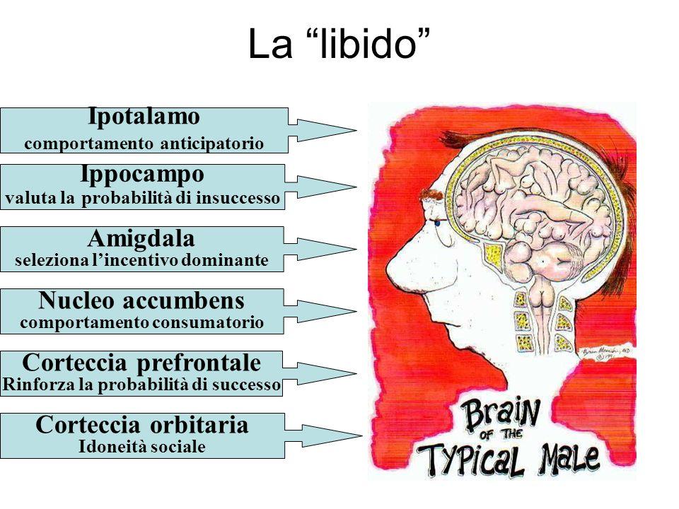 La libido Ippocampo valuta la probabilità di insuccesso Amigdala seleziona lincentivo dominante Nucleo accumbens comportamento consumatorio Ipotalamo