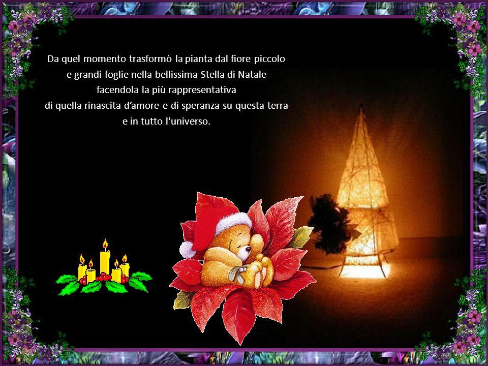 Da quel momento trasformò la pianta dal fiore piccolo e grandi foglie nella bellissima Stella di Natale facendola la più rappresentativa di quella rinascita damore e di speranza su questa terra e in tutto l universo.