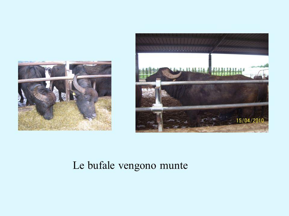 Le bufale vengono munte