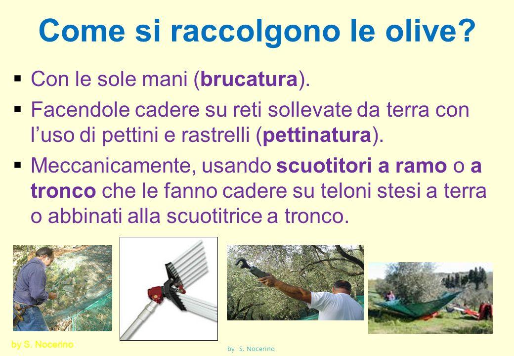 Come si raccolgono le olive? Con le sole mani (brucatura). Facendole cadere su reti sollevate da terra con luso di pettini e rastrelli (pettinatura).