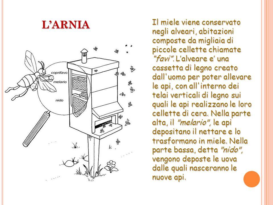 LARNIA Il miele viene conservato negli alveari, abitazioni composte da migliaia di piccole cellette chiamate favi. Lalveare e una cassetta di legno cr