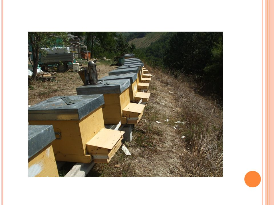 LA MATURAZIONE Quando il miele e maturo, le api rivestono le cellette con l opercolo, vale a dire uno strato di cera, per custodire il loro prodotto.