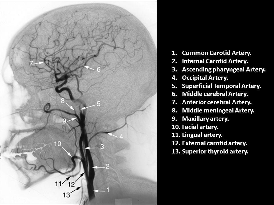 1.Common Carotid Artery. 2.Internal Carotid Artery. 3.Ascending pharyngeal Artery. 4.Occipital Artery. 5.Superficial Temporal Artery. 6.Middle cerebra