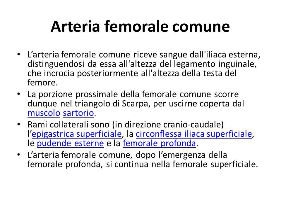 Arteria femorale comune Larteria femorale comune riceve sangue dall'iliaca esterna, distinguendosi da essa all'altezza del legamento inguinale, che in