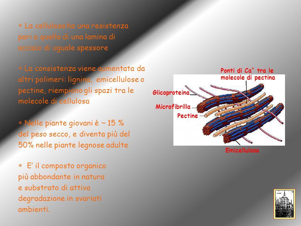 C1 C3 C2 C4 C5 C6 13 C CP-MAS cellulosa I Ramie Cotone Pino Cellulosa rigenerata Acetobacter Valonia C1 C4 C6 R.H.