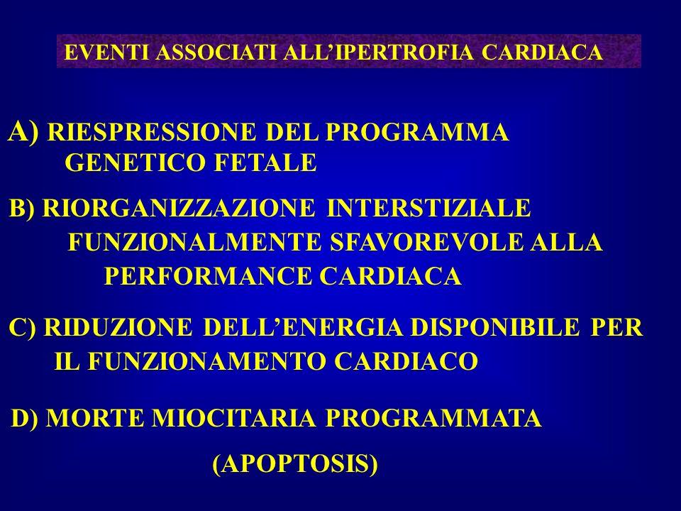 EVENTI ASSOCIATI ALLIPERTROFIA CARDIACA A) RIESPRESSIONE DEL PROGRAMMA GENETICO FETALE B) RIORGANIZZAZIONE INTERSTIZIALE FUNZIONALMENTE SFAVOREVOLE AL
