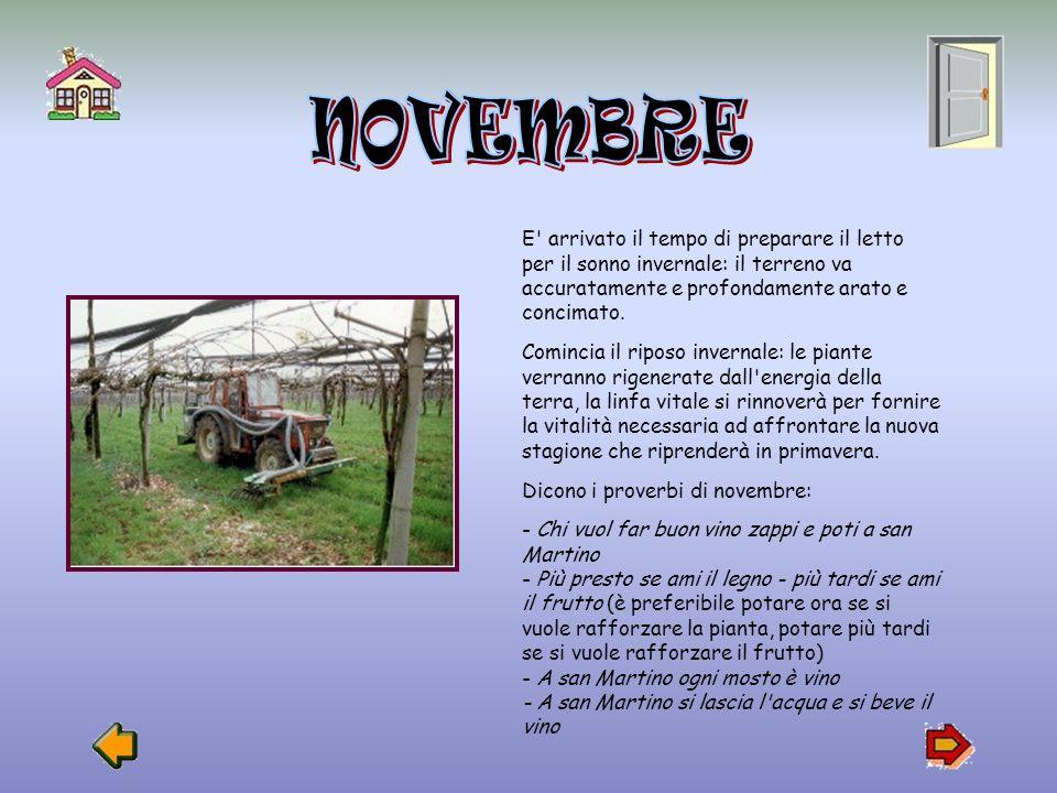Tra Settembre e Ottobre si vendemmiano la maggioranza delle uvevendemmiano Tra Ottobre e Novembre si raccolgono le uve a maturazione tardiva e quelle