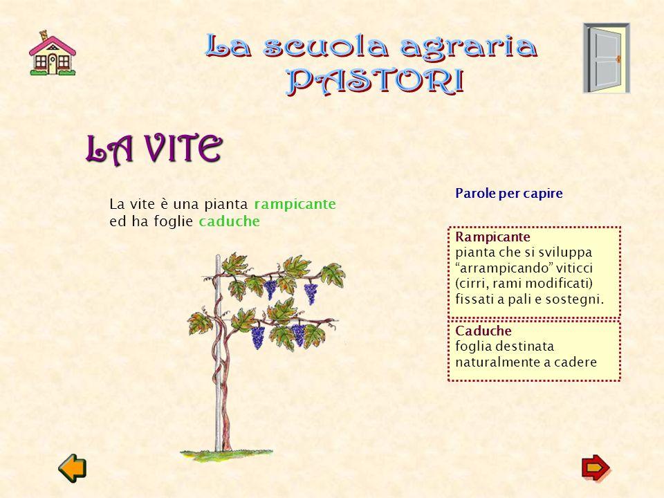 LA VITE LA VITE La vite è una pianta rampicante ed ha foglie caduche Rampicante pianta che si sviluppa arrampicando viticci (cirri, rami modificati) fissati a pali e sostegni.