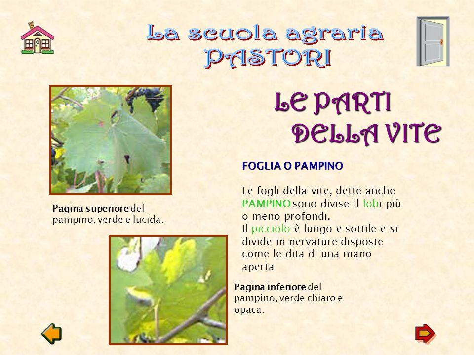 Tra Settembre e Ottobre si vendemmiano la maggioranza delle uve.