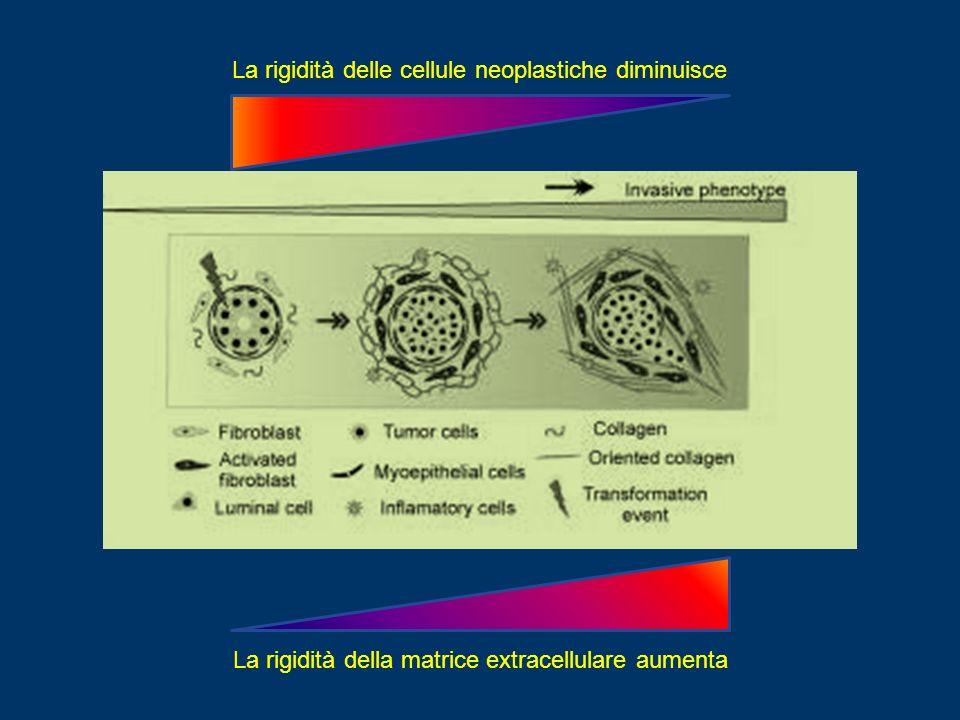 La rigidità delle cellule neoplastiche diminuisce La rigidità della matrice extracellulare aumenta