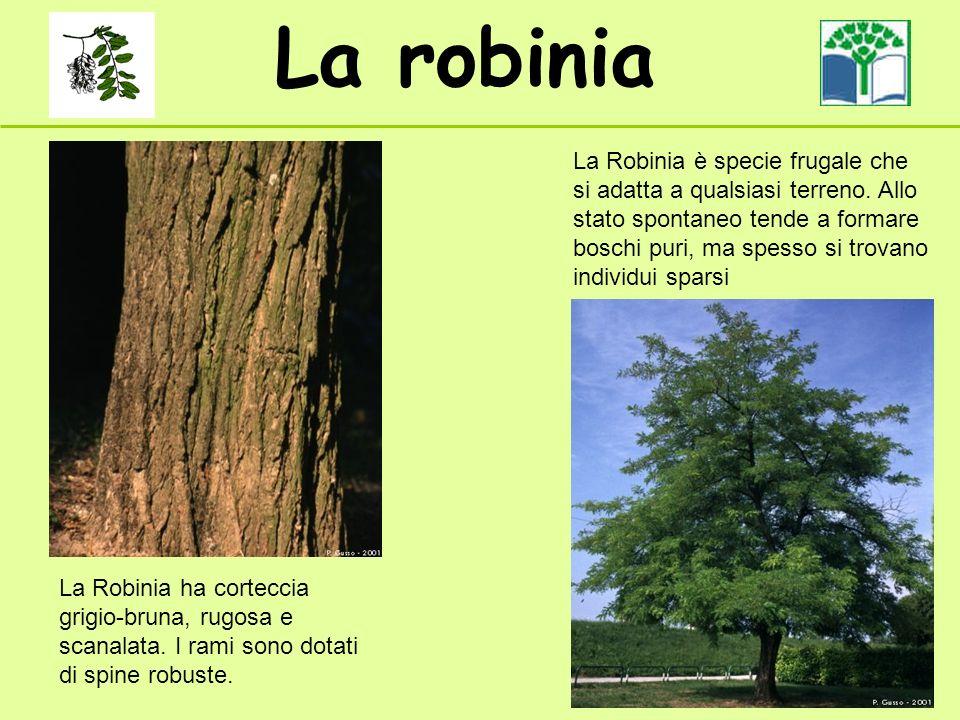 La robinia La Robinia ha corteccia grigio-bruna, rugosa e scanalata. I rami sono dotati di spine robuste. La Robinia è specie frugale che si adatta a