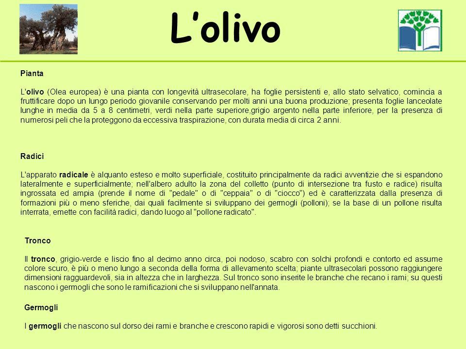 Lolivo Pianta L'olivo (Olea europea) è una pianta con longevità ultrasecolare, ha foglie persistenti e, allo stato selvatico, comincia a fruttificare