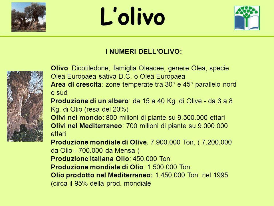 Lolivo I NUMERI DELL'OLIVO: Olivo: Dicotiledone, famiglia Oleacee, genere Olea, specie Olea Europaea sativa D.C. o Olea Europaea Area di crescita: zon