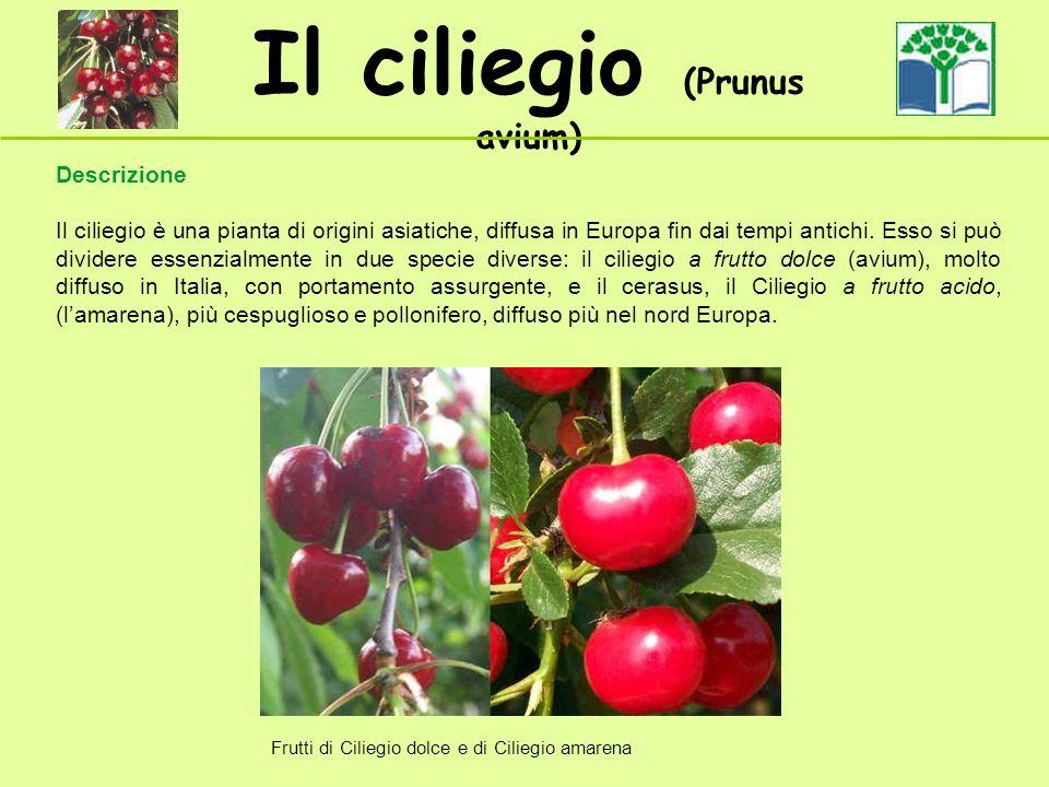 Il ciliegio (Prunus avium) Descrizione Il ciliegio è una pianta di origini asiatiche, diffusa in Europa fin dai tempi antichi. Esso si può dividere es