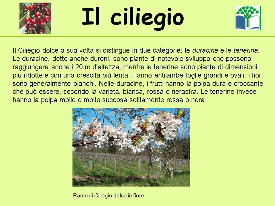 Il ciliegio Il Ciliegio dolce a sua volta si distingue in due categorie: le duracine e le tenerine. Le duracine, dette anche duroni, sono piante di no