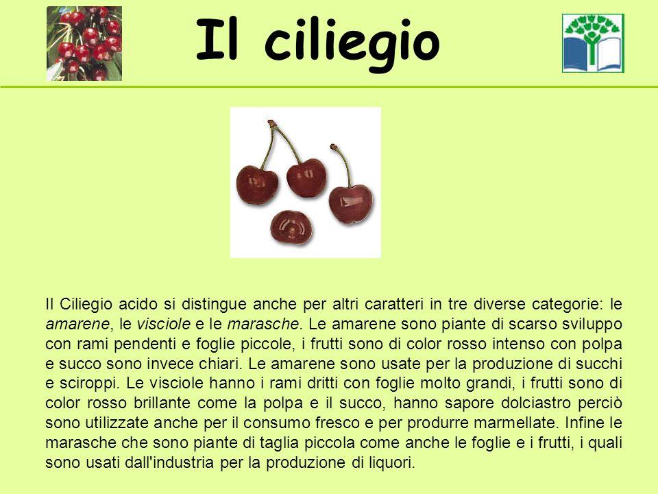 Il ciliegio Il Ciliegio acido si distingue anche per altri caratteri in tre diverse categorie: le amarene, le visciole e le marasche. Le amarene sono
