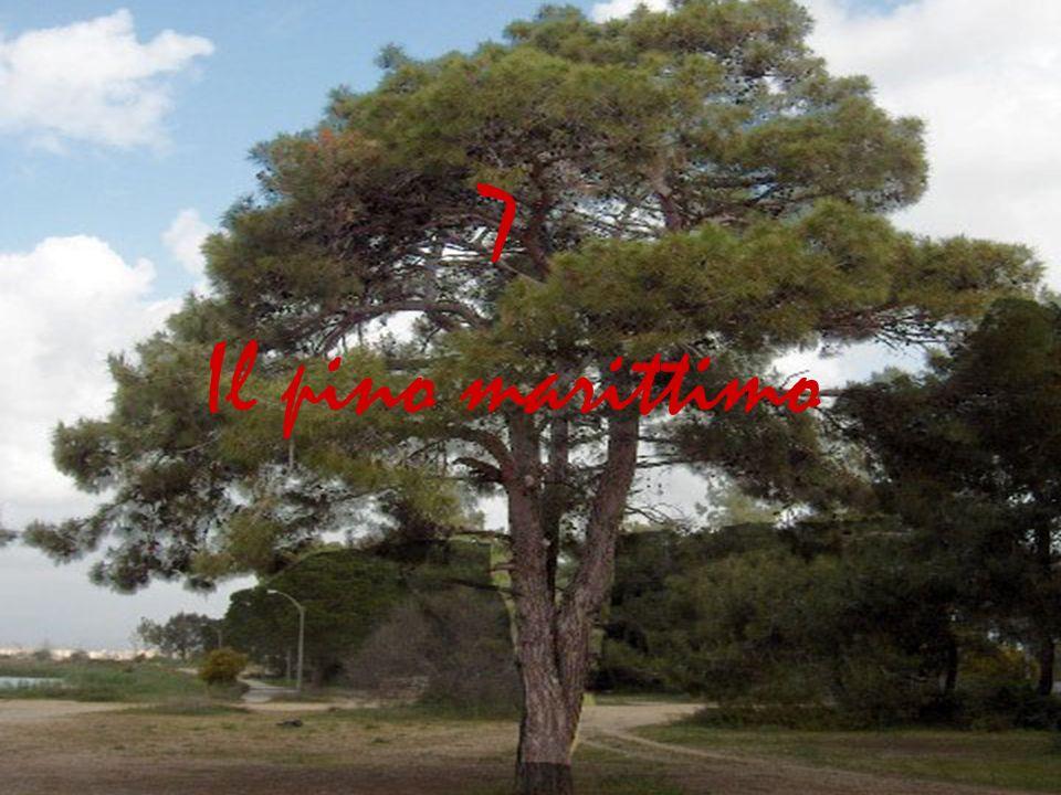 Il pino marittimo 7