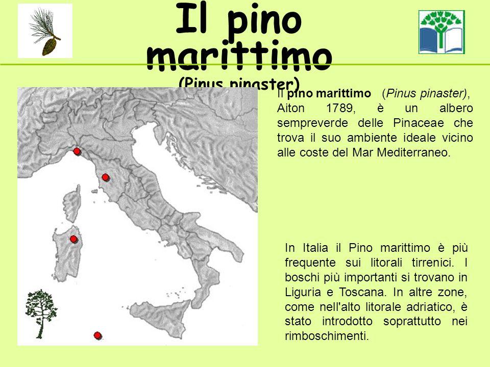 Il pino marittimo (Pinus pinaster) Il pino marittimo (Pinus pinaster), Aiton 1789, è un albero sempreverde delle Pinaceae che trova il suo ambiente ideale vicino alle coste del Mar Mediterraneo.