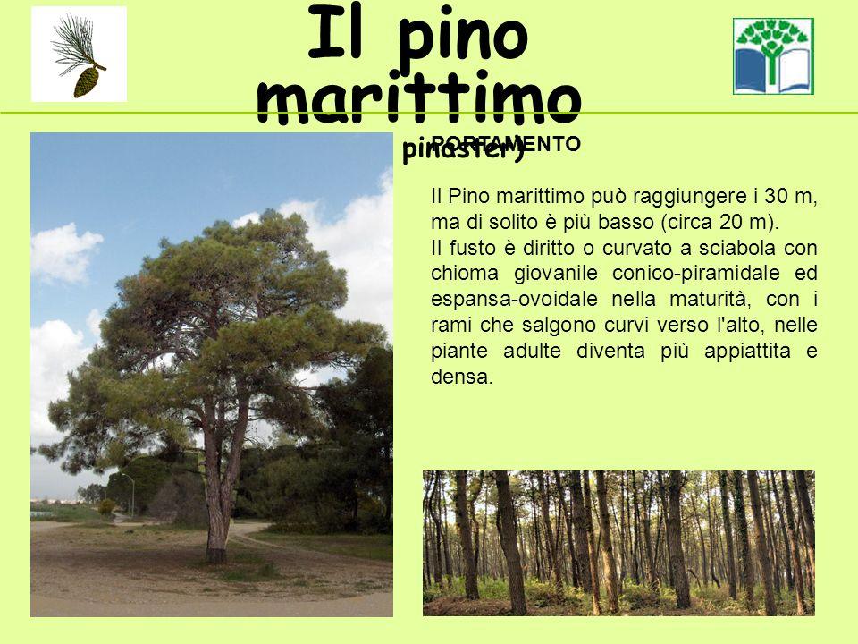 Il pino marittimo (Pinus pinaster) PORTAMENTO Il Pino marittimo può raggiungere i 30 m, ma di solito è più basso (circa 20 m). Il fusto è diritto o cu
