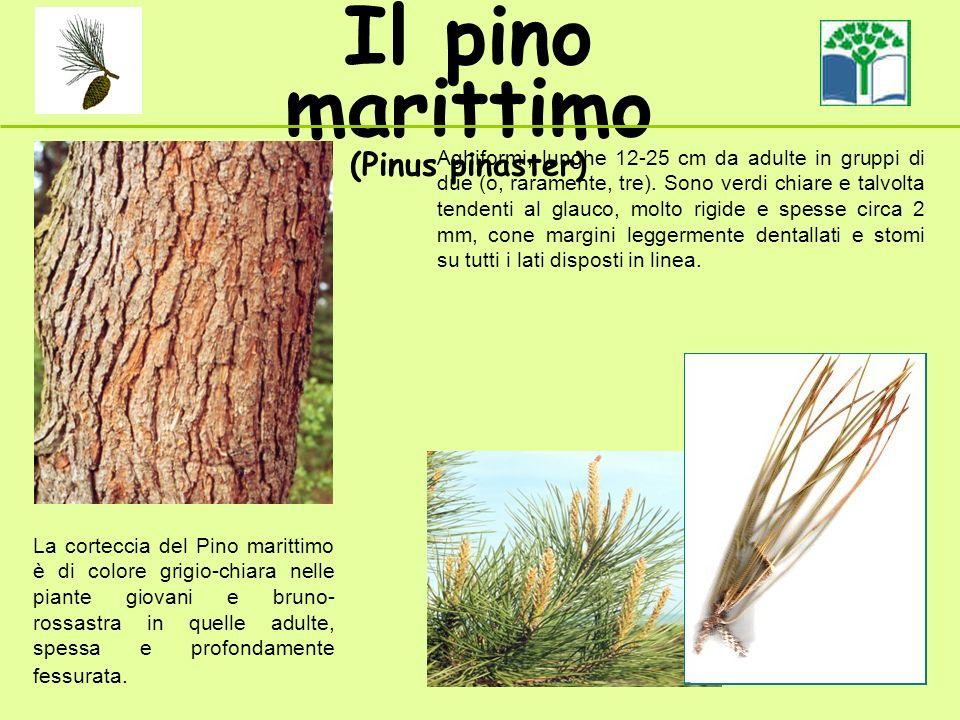Il pino marittimo (Pinus pinaster) La corteccia del Pino marittimo è di colore grigio-chiara nelle piante giovani e bruno- rossastra in quelle adulte, spessa e profondamente fessurata.