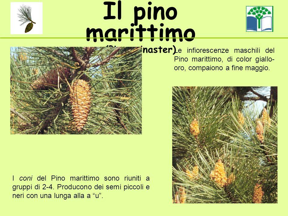 I coni del Pino marittimo sono riuniti a gruppi di 2-4. Producono dei semi piccoli e neri con una lunga ala..u Il pino marittimo (Pinus pinaster) Le i