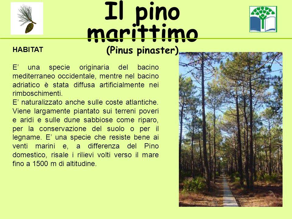 Il pino marittimo (Pinus pinaster) HABITAT E una specie originaria del bacino mediterraneo occidentale, mentre nel bacino adriatico è stata diffusa artificialmente nei rimboschimenti.