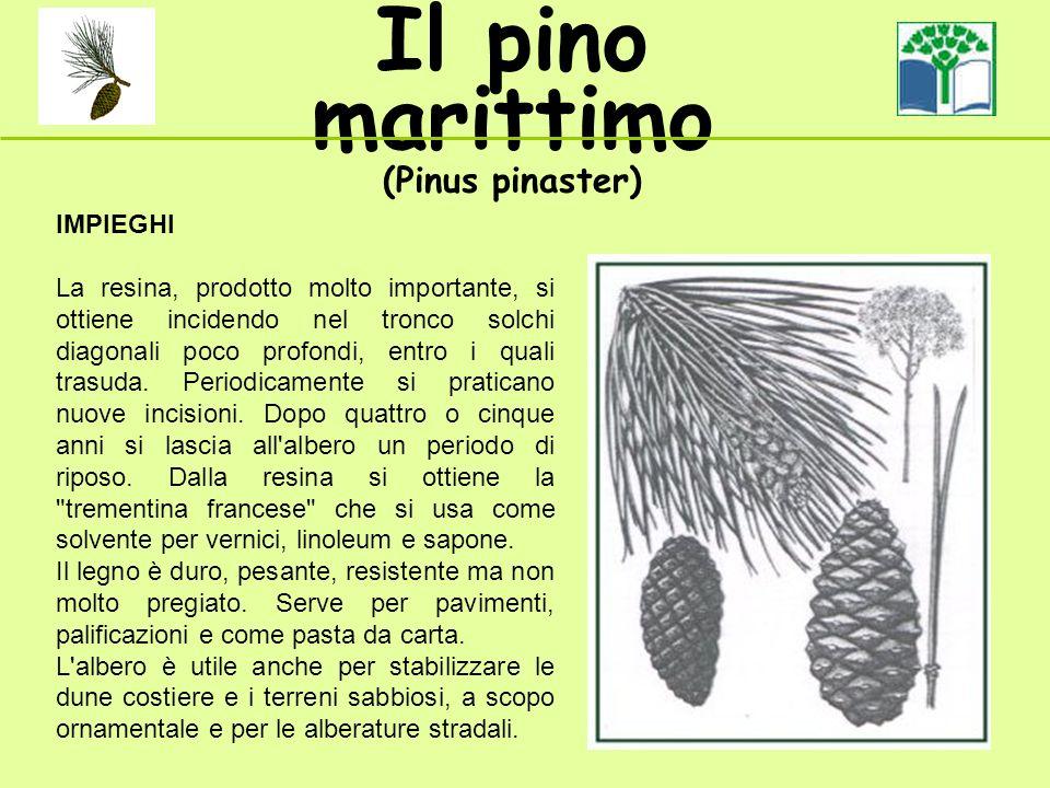 Il pino marittimo (Pinus pinaster) IMPIEGHI La resina, prodotto molto importante, si ottiene incidendo nel tronco solchi diagonali poco profondi, entro i quali trasuda.