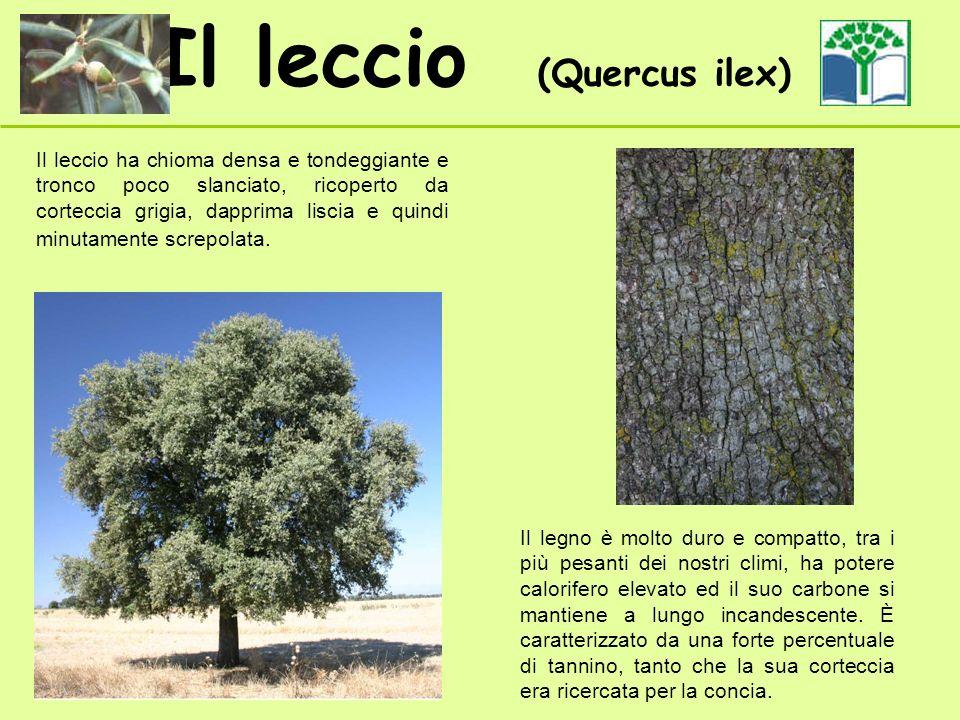 Il leccio (Quercus ilex) Il leccio ha chioma densa e tondeggiante e tronco poco slanciato, ricoperto da corteccia grigia, dapprima liscia e quindi min