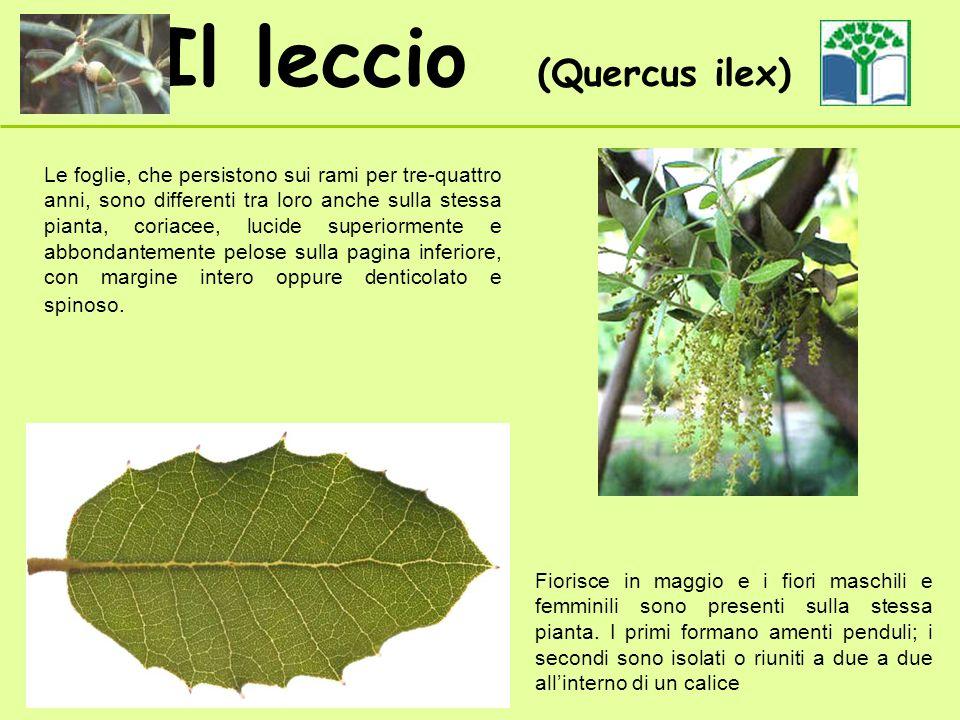 Le foglie, che persistono sui rami per tre-quattro anni, sono differenti tra loro anche sulla stessa pianta, coriacee, lucide superiormente e abbondantemente pelose sulla pagina inferiore, con margine intero oppure denticolato e spinoso.