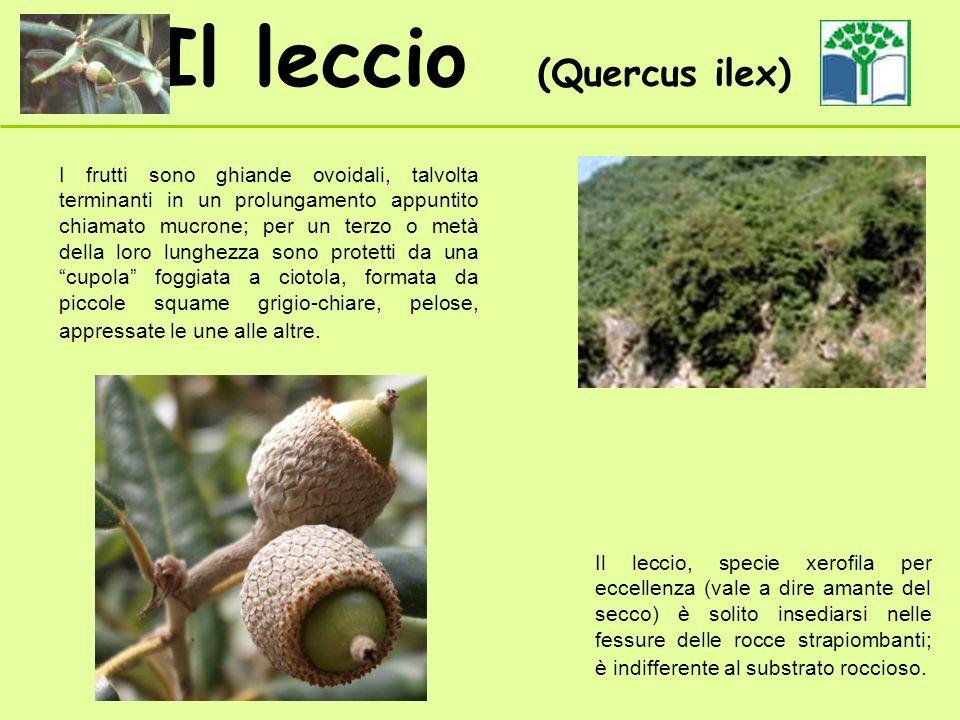Il leccio (Quercus ilex) I frutti sono ghiande ovoidali, talvolta terminanti in un prolungamento appuntito chiamato mucrone; per un terzo o metà della loro lunghezza sono protetti da una cupola foggiata a ciotola, formata da piccole squame grigio-chiare, pelose, appressate le une alle altre.