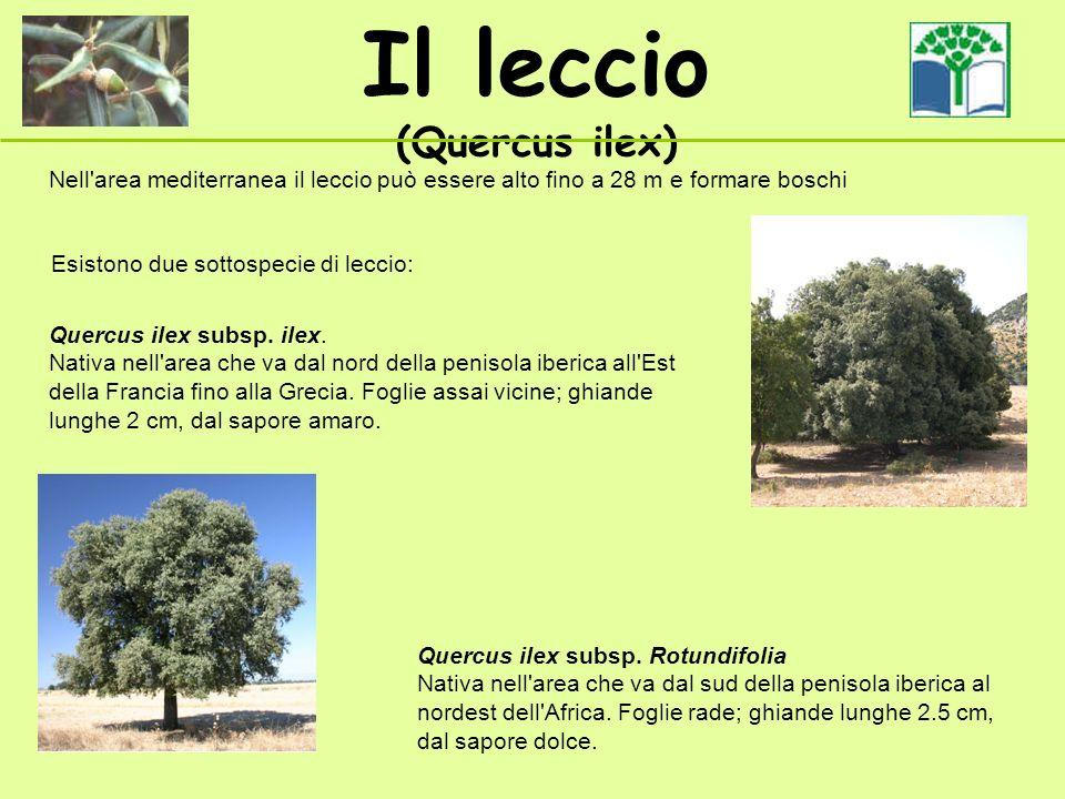 Il leccio (Quercus ilex) Nell'area mediterranea il leccio può essere alto fino a 28 m e formare boschi Quercus ilex subsp. Rotundifolia Nativa nell'ar