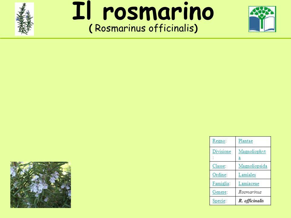Il rosmarino ( Rosmarinus officinalis) RegnoRegno:Plantae Divisione Divisione : Magnoliophyt a ClasseClasse:Magnoliopsida OrdineOrdine:Lamiales FamigliaFamiglia:Lamiaceae GenereGenere:Rosmarinus SpecieSpecie:R.