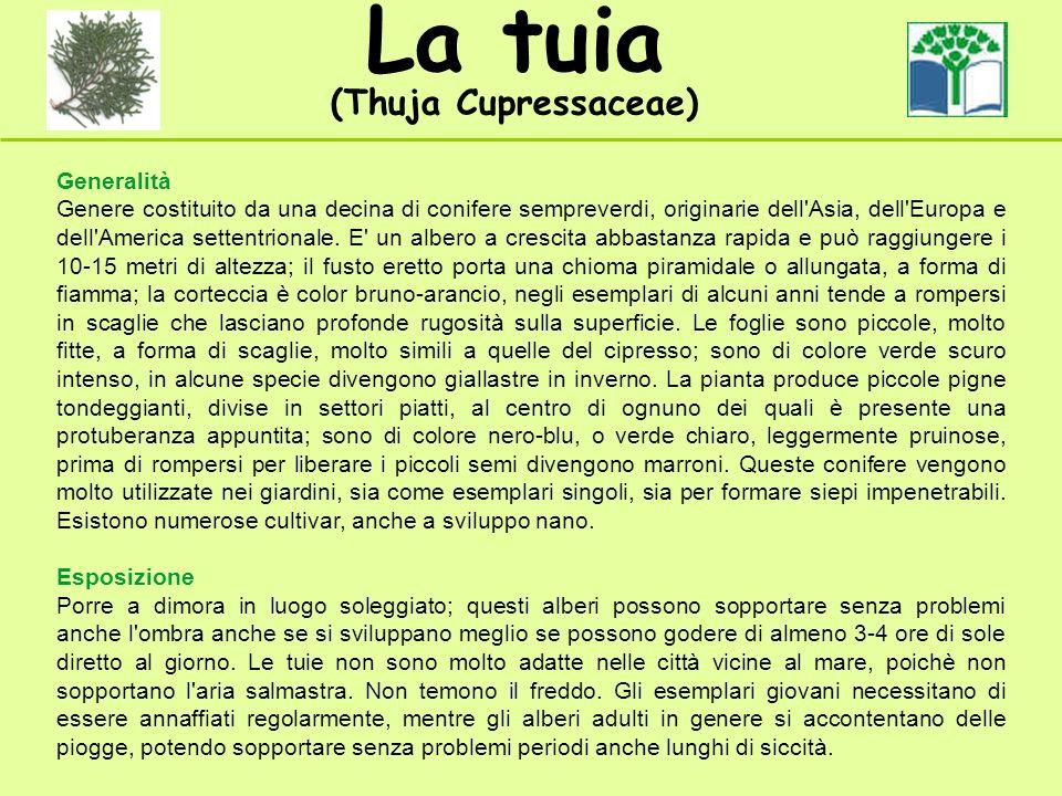 La tuia (Thuja Cupressaceae) Generalità Genere costituito da una decina di conifere sempreverdi, originarie dell'Asia, dell'Europa e dell'America sett