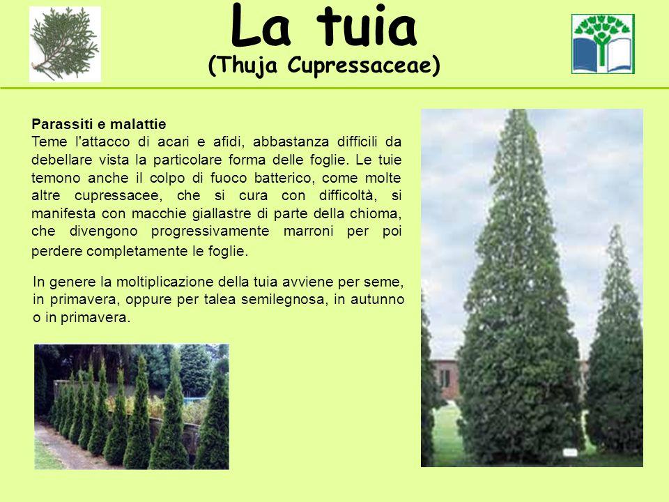 La tuia (Thuja Cupressaceae) Parassiti e malattie Teme l'attacco di acari e afidi, abbastanza difficili da debellare vista la particolare forma delle