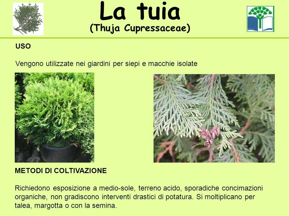 La tuia (Thuja Cupressaceae) USO Vengono utilizzate nei giardini per siepi e macchie isolate METODI DI COLTIVAZIONE Richiedono esposizione a medio-sol