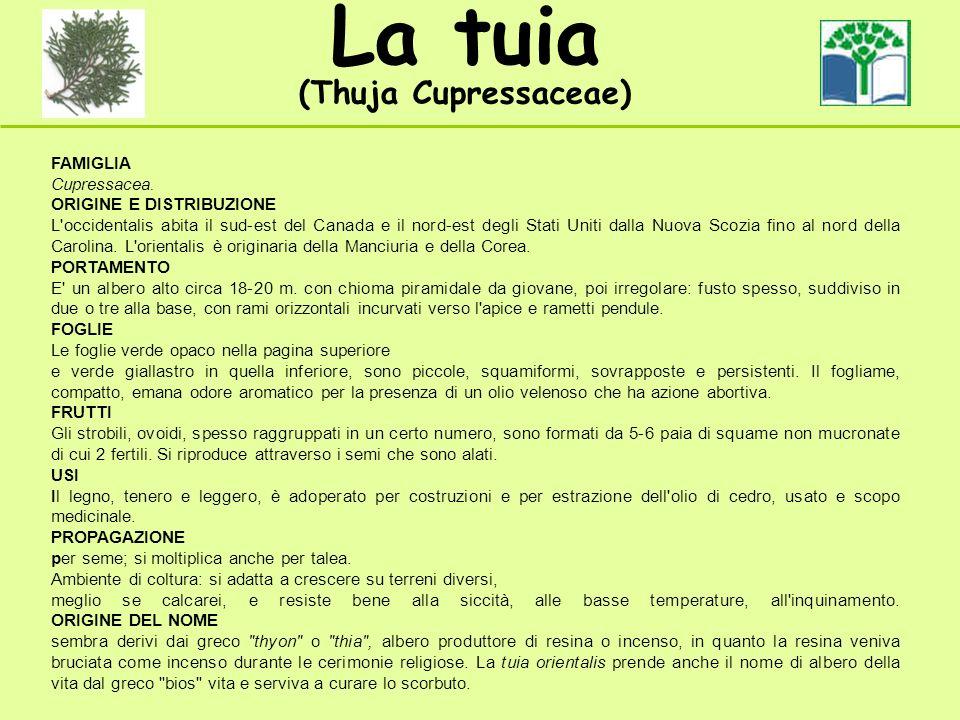 La tuia (Thuja Cupressaceae) FAMIGLIA Cupressacea. ORIGINE E DISTRIBUZIONE L'occidentalis abita il sud-est del Canada e il nord-est degli Stati Uniti